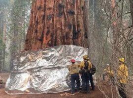 Καλιφόρνια: Τυλίγουν με κουβέρτα πυρόσβεσης το μεγαλύτερο δέντρο του κόσμου (Βίντεο – Φωτό)