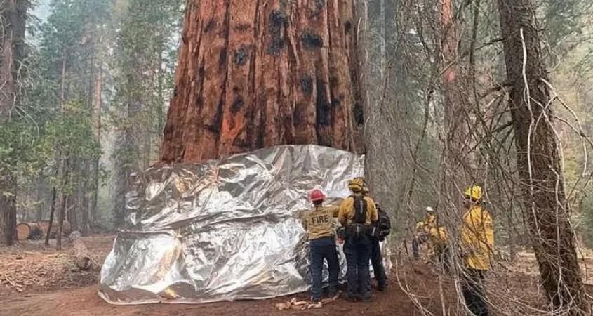 Καλιφόρνια: Τυλίγουν με κουβέρτα πυρόσβεσης το μεγαλύτερο δέντρο του κόσμου (Βίντεο - Φωτό)