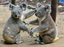 Αυστραλία: Την τελευταία τριετία χάθηκε το ένα τρίτο από τον πληθυσμό των κοάλα